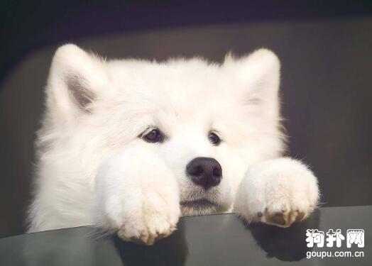 萨摩耶犬---爱吃是天性 第1张