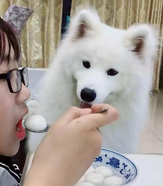 萨摩耶想吃汤圆,这萌买的都溢出来了 第1张