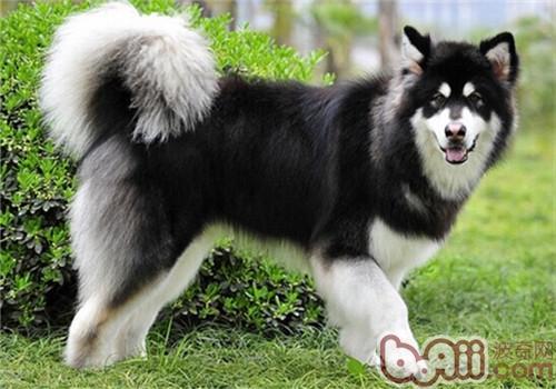 阿拉斯加雪橇犬的性格特点 第1张