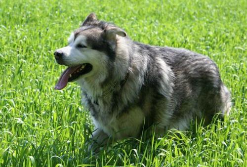 阿拉斯加雪橇犬调皮吗 调皮起来很可爱 第1张