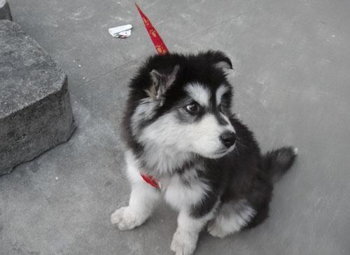 阿拉斯加雪橇犬掉毛吗 找到掉毛的原因 第1张