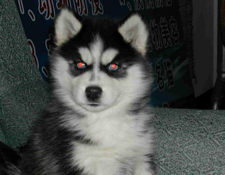 哈士奇幼犬怎么训练,训练哈士奇的方法和注意事项 第1张