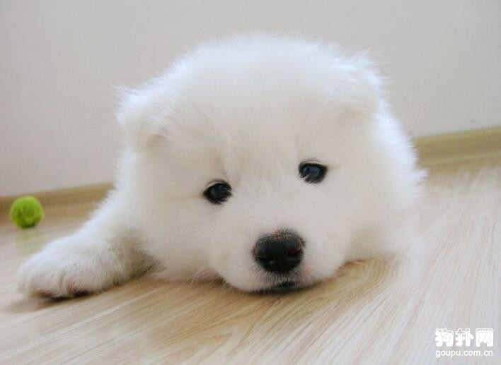 萨摩耶犬多少钱一只?如何给萨摩耶做日常护理呢? 第1张