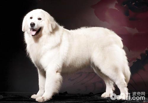 体味最轻的狗狗前五名 第1张