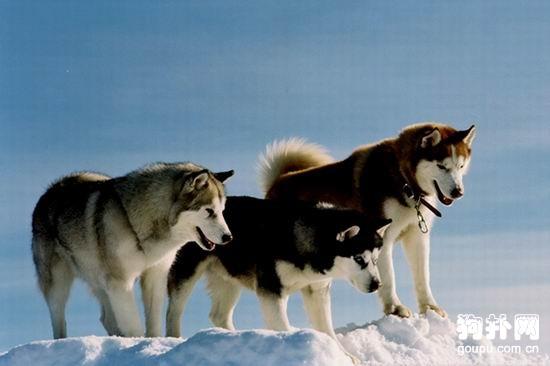 【哈士奇标准】西伯利亚雪橇犬简介 第1张