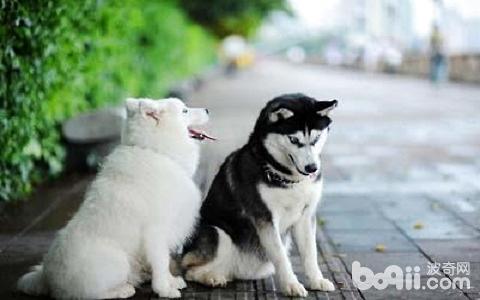 萨摩耶犬吃什么狗粮好?萨摩耶狗粮推荐 第1张