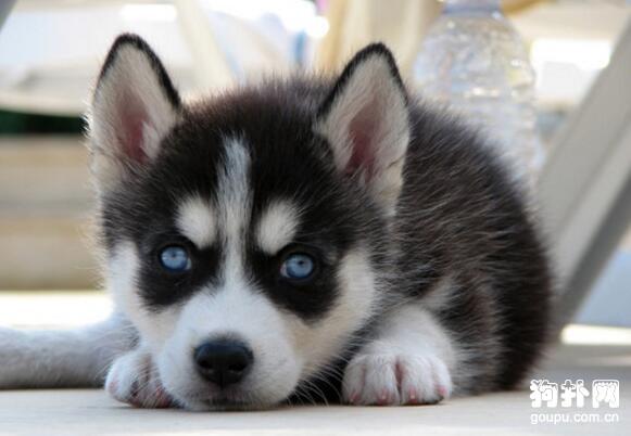 三个月大的哈士奇幼犬该如何喂养? 第1张