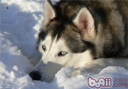 给阿拉斯加雪橇犬美容时的注意事项 第1张
