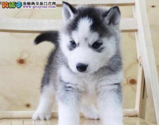 值得你学习的哈士奇幼犬的喂养方法 第1张