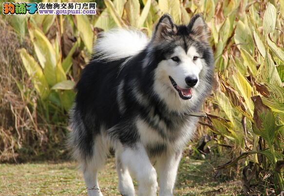 读懂阿拉斯加犬的眼神,让他成为你最好的伙伴 第1张