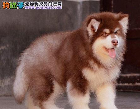 阿拉斯加犬患上细小疾病是怎么了,求解答 第1张