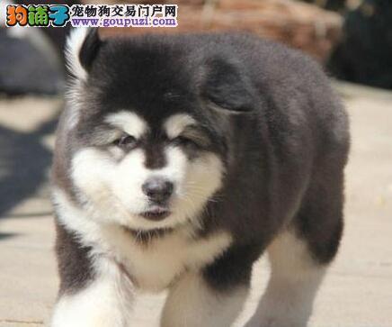 春夏饲养阿拉斯加雪橇犬的妙招多 第1张