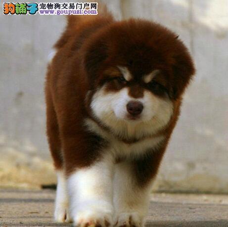 阿拉斯加犬患上皮肤病,很痒掉毛用什么药 第1张