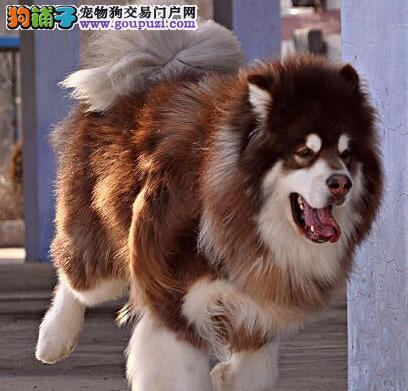阿拉斯加犬最近拉稀是饮食问题吗 第1张