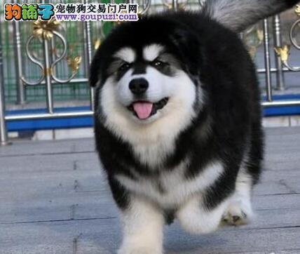 阿拉斯加犬最近总挠自己的身体是为什么 第1张
