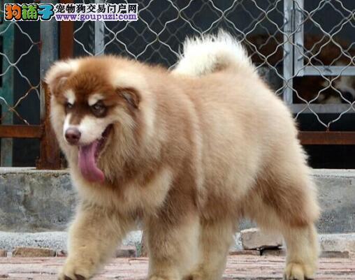 阿拉斯加犬最近严重的掉毛应如何缓解 第1张