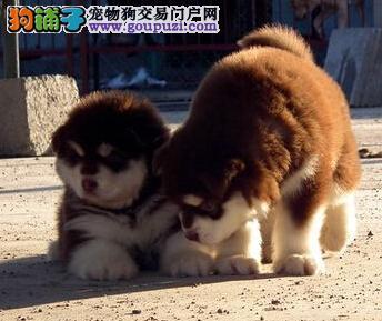 阿拉斯加犬身上长红包,很痒该怎样治疗 第1张