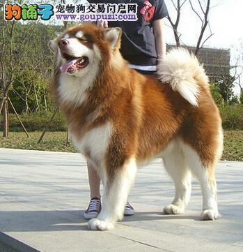 """查明便秘原因 阿拉斯加雪橇犬不当""""小腹婆"""" 第1张"""
