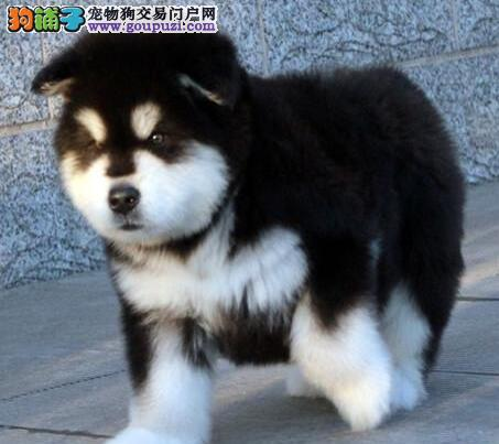 秋冬季节应如何预防阿拉斯加犬患上感冒 第1张