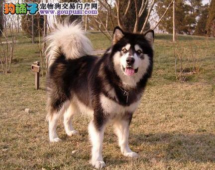 熟悉环境的重要性 新来阿拉斯加雪橇犬应如何饲养 第1张