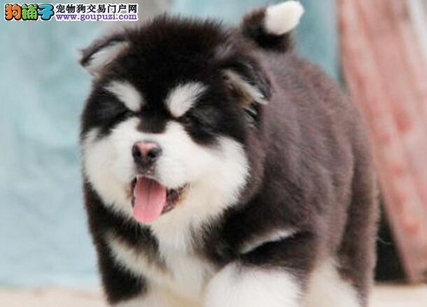 我家阿拉斯加犬身上很痒,毛发稀疏怎么回事 第1张