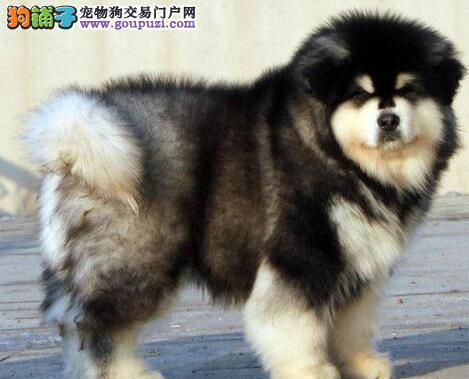 阿拉斯加犬患上犬瘟后应如何医治 第1张