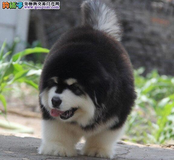 阿拉斯加犬最近总拉稀应怎么办 第1张