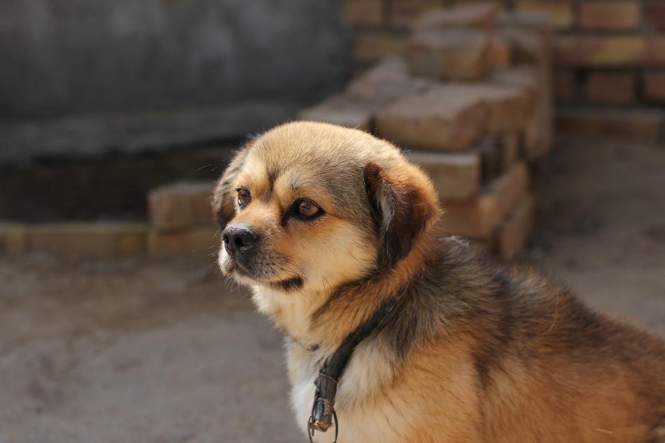 中国十大城市禁养犬盘点 怎么还有人在养这种狗? 第1张