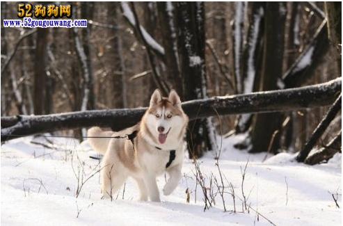 冬季如何饲养哈士奇犬 哈士奇冬天怕冷吗? 第1张