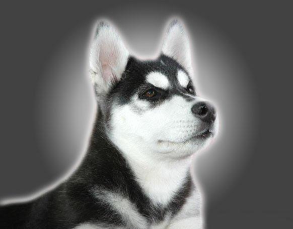 成年的雪橇犬到底能长多大 第1张