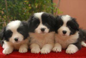 狗狗动作训练:制止犬吠叫训练的方法及注意事项 第1张